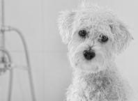 Как часто мыть собаку, которой шампунем?