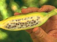 Как вырастить банан из семян дома?