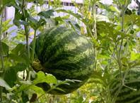 Как вырастить арбузы в теплице?
