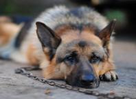 Как приучить собаку к цепи?