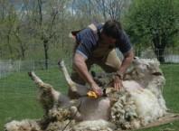 Как стричь овец машинкой?