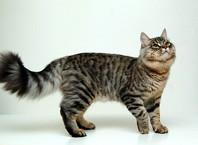 Как назвать сибирскую кошку?