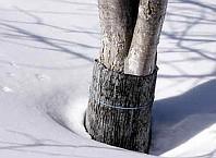 Как уберечь дерева от грызунов?