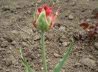 Как пересадить тюльпаны? Пересадка тюльпанов