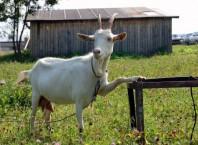 Как лечить мастит в козы?