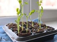 Как вырастить рассаду на подоконные?