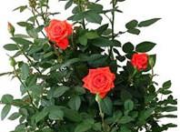 Как посадить семена в горшок: роза на окне