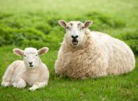 Как кормить овец: рацион, особенности