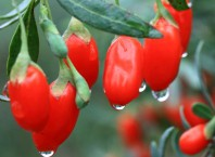 Где растут ягоды годжи: все о целебном растению