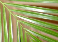 Как присматривать за домашней пальмой?