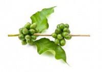Цена на зеленый кофе в Бресте: приятный сюрприз для тех, что худеют!