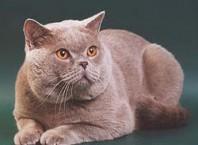 Как назвать шотландскую кошку?
